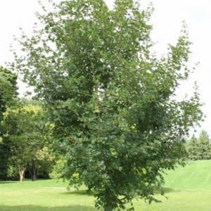 Acer Campestre Field Maple Young Tree