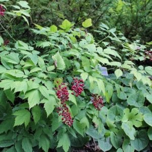 Actaea Rubra Red Baneberry