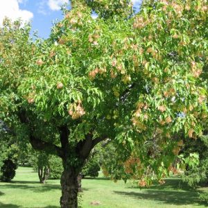 Acer Ginnala Amur Maple