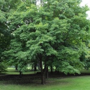 Acer saccharum Sugar Maple
