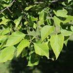 Celtis occidentalis Common Hackberry Leaves