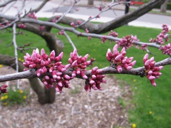 Cercis canadensis Redbud Spring Bloom