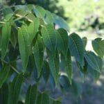Juglans nigra Black Walnut Leaves