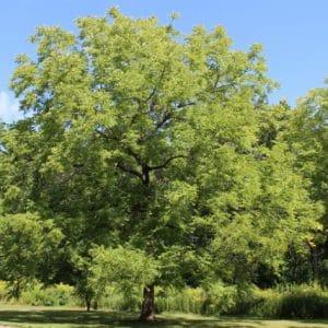 Juglans nigra Black Walnut Tree