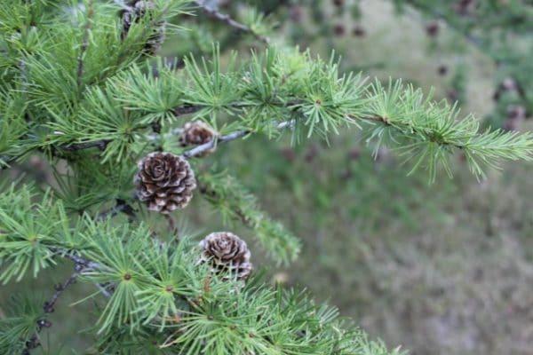 Larix laricina Tamarack or American Larch Foliage and Cones