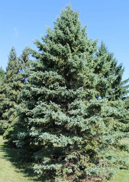 Picea glauca White Spruce