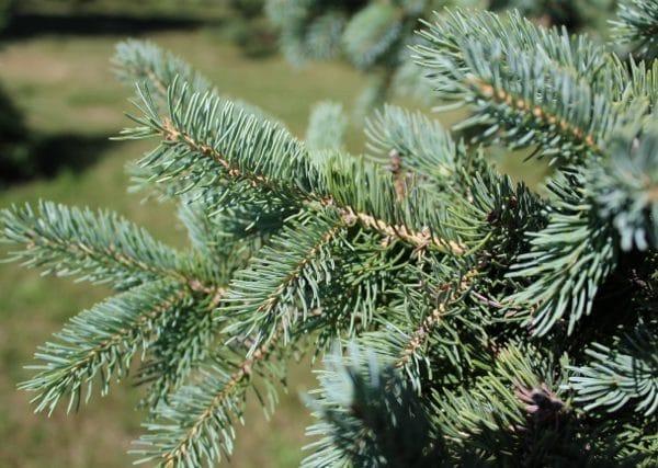 Picea glauca White Spruce Needles