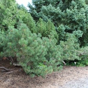 Pinus mugo Mugo Pine Shrub