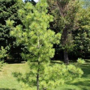 Pinus strobus Eastern White Pine Young Tree