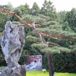 Pinus sylvestris (Scots Pine) at the Montreal Botanical Garden