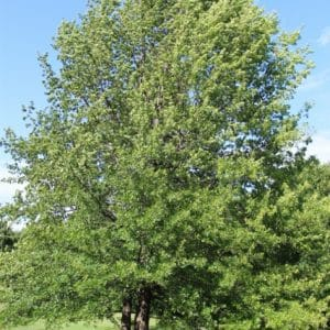 Quercus rubra Red Oak