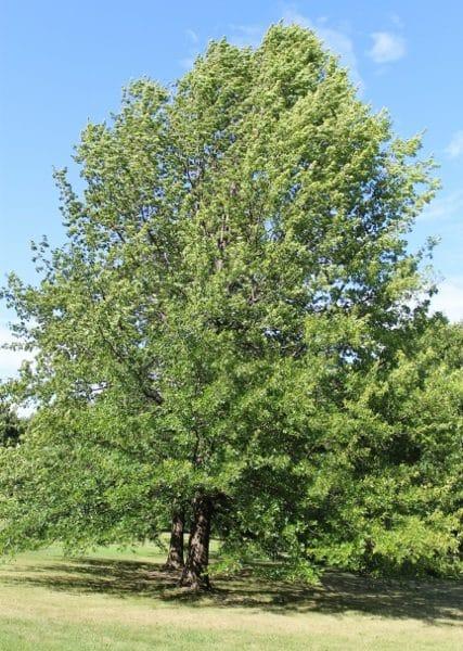 Quercus rubra Red Oak