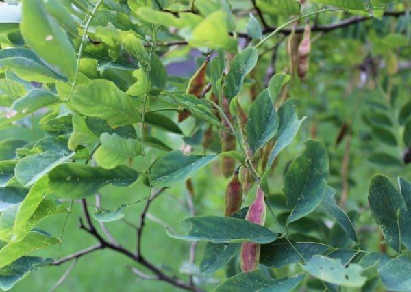 Robinia pseudoacacia Black Locust Leaves
