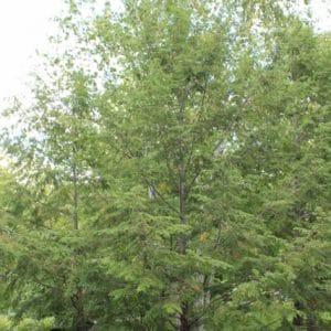 Tsuga canadensis Canadian Hemlock or Eastern Hemlock