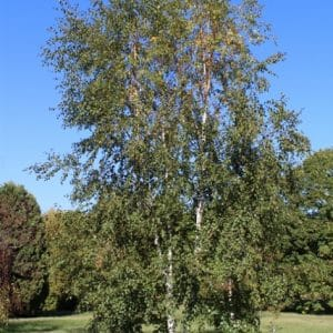 Betula pubescens Downy Birch