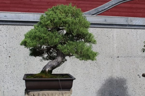 Chinese juniper bonsai on display at the Montreal Botanical Garden