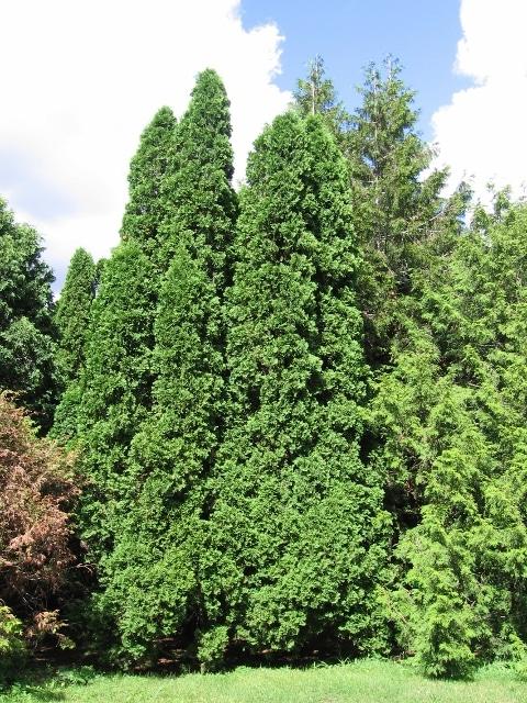 Thuja occidentalis Eastern White Cedar