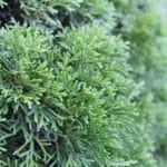 Thuja occidentalis Eastern White Cedar Foliage