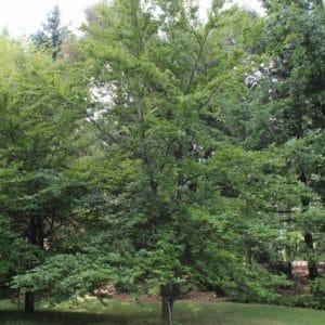 Fagus sylvatica (European Beech) Tree