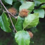 Fagus sylvatica (European Beech) Tree Foliage and Nuts