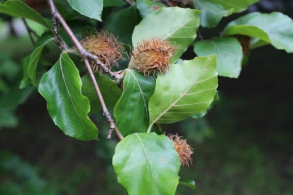 Fagus sylvatica (European Beech) Tree Foliage and Nuts