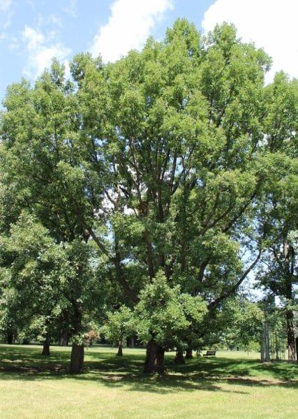Quercus bicolor (Swamp White Oak) Seeds