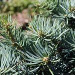 Abies Lasiocarpa Subalpine Fir Needles