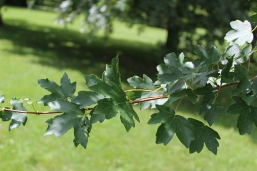 Acer Campestre Field Maple Foliage