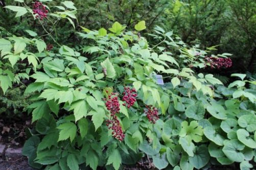 Actaea Rubra Red Baneberry