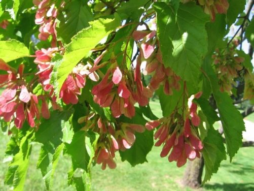 Acer Ginnala Amur Maple Leaves and Samaras