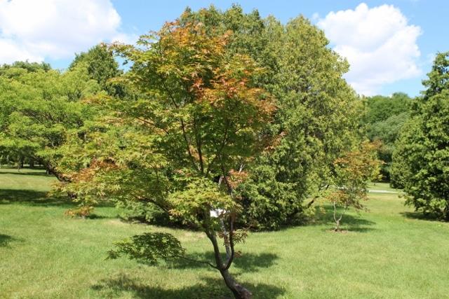 Acer Palmatum Japanese Maple Mount Royal Seeds