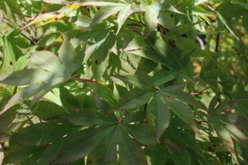 Acer palmatum (Japanese Maple) Foliage