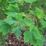 Acer rubrum Red Maple Leaves