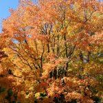 Acer saccharum Sugar Maple in Autumn