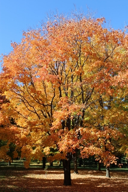 Acer saccharum Sugar Maple in Autumn