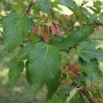 Tatarian Maple Leaves and Samaras