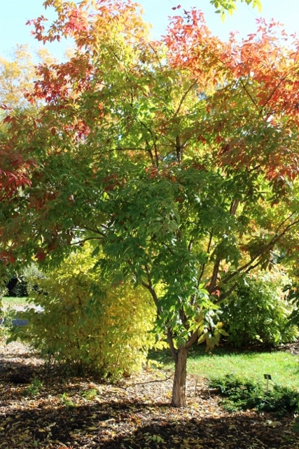 Acer triflorum Three-Flowered Maple