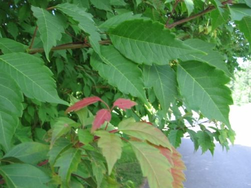 Acer triflorum Three-Flowered Maple Leaves in Summer