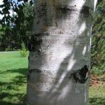 Betula papyrifera Paper Birch Trunk