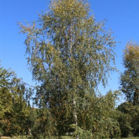 betula-pendula European White Birch