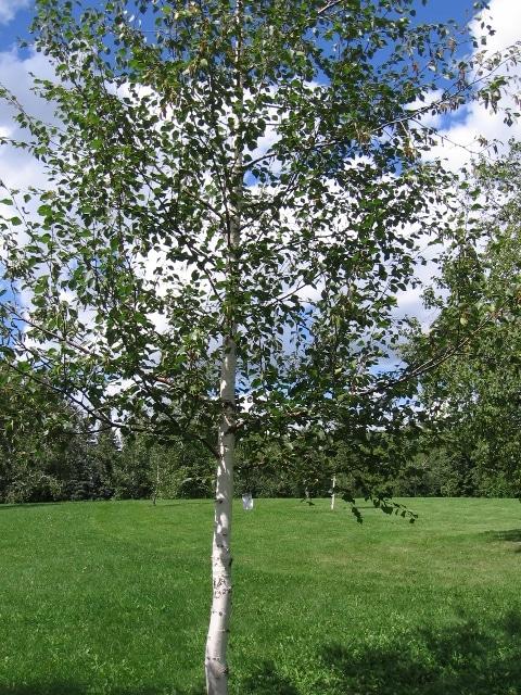 Betula pubescens subspecies carpatica Young Tree