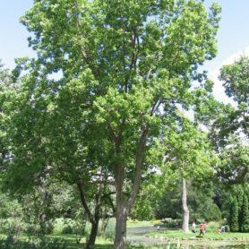Common Hackberry Tree