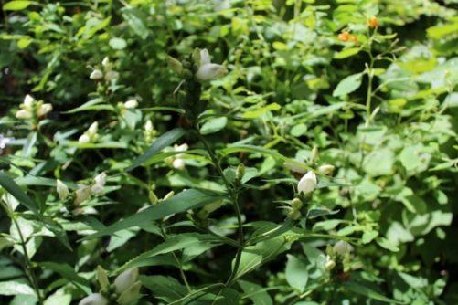 Chelone glabra White Turtlehead