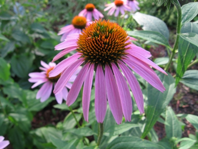 echinacea purpurea purple coneflower mount royal seeds. Black Bedroom Furniture Sets. Home Design Ideas