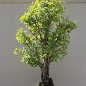 Ginkgo Bonsai at the Montreal Botanical Garden