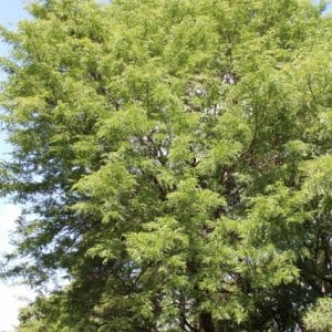 Gleditsia triacanthos Honey Locust