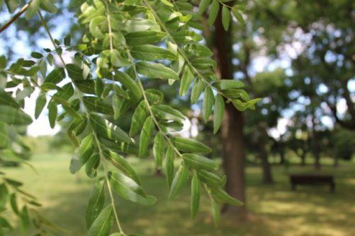 Gleditsia triacanthos Honey Locust Leaves