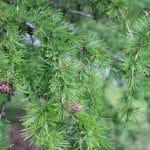 Larix decidua European Larch Foliage and Cones