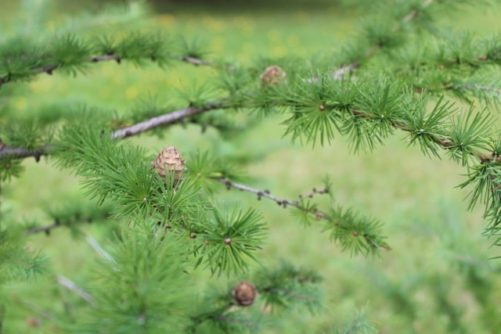 Larix kaempferi Japanese Larch Foliage and Cones