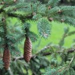 picea abies Norway Spruce Needles